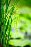 ρύζι ορυζώνα πεδίων Στοκ φωτογραφία με δικαίωμα ελεύθερης χρήσης