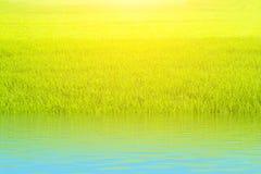 Ρύζι ορυζώνα στον τομέα Στοκ Εικόνες