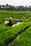 ρύζι ορυζώνα της Βιρμανίας Στοκ Εικόνες