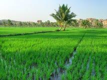 ρύζι ορυζώνα στοκ φωτογραφίες