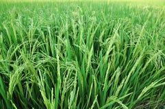ρύζι ορυζώνα Στοκ εικόνα με δικαίωμα ελεύθερης χρήσης