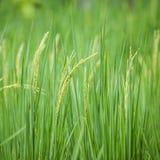 Ρύζι ορυζώνα Στοκ Εικόνα
