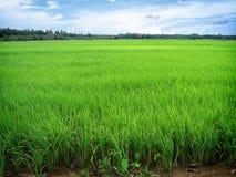 ρύζι ορυζώνα Στοκ εικόνες με δικαίωμα ελεύθερης χρήσης