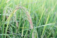 Ρύζι ορυζώνα Στοκ Εικόνες