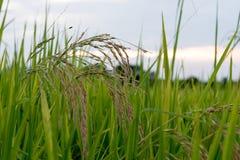 Ρύζι ορυζώνα Στοκ φωτογραφία με δικαίωμα ελεύθερης χρήσης