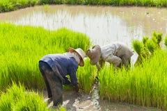 ρύζι πεδίων αγροτών Στοκ εικόνα με δικαίωμα ελεύθερης χρήσης