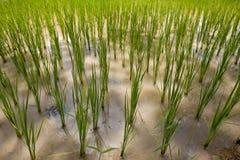 ρύζι πεδίων της Ασίας Στοκ Εικόνες