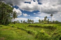 ρύζι πεδίων του Μπαλί Ένας τομέας με τους φοίνικες Ηλιόλουστο τοπίο tropics στοκ εικόνες