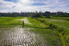 ρύζι πεδίων του Μπαλί Στοκ φωτογραφίες με δικαίωμα ελεύθερης χρήσης
