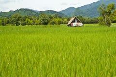 ρύζι πεδίων Στοκ φωτογραφίες με δικαίωμα ελεύθερης χρήσης