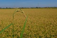 ρύζι πεδίων Στοκ εικόνες με δικαίωμα ελεύθερης χρήσης