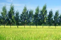 ρύζι πεύκων πεδίων στοκ εικόνες