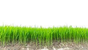 ρύζι πεδίων Σπορόφυτα ρυζιού πράσινα στο λευκό Στοκ Εικόνα