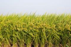 ρύζι πεδίων στοκ φωτογραφίες