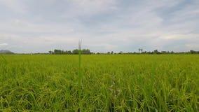 ρύζι πεδίων απόθεμα βίντεο
