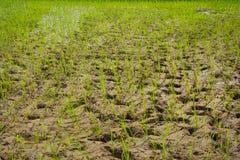 ρύζι πεδίων Στοκ εικόνα με δικαίωμα ελεύθερης χρήσης