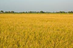 Ρύζι που αρχειοθετείται χρυσό Στοκ Φωτογραφία