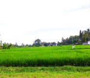 Ρύζι πράσινο στον τομέα ευρύ Στοκ εικόνες με δικαίωμα ελεύθερης χρήσης