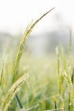 Ρύζι, πράσινο, στοκ εικόνες