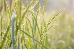 Ρύζι, πράσινο στοκ εικόνες με δικαίωμα ελεύθερης χρήσης