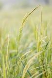 Ρύζι, πράσινο στοκ φωτογραφία