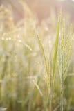 Ρύζι, πράσινο, Bokeh στοκ φωτογραφία με δικαίωμα ελεύθερης χρήσης