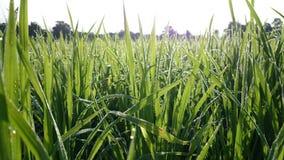 Ρύζι πτώσης Στοκ Φωτογραφίες