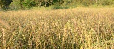 Ρύζι, ρύζι ορυζώνα Στοκ Φωτογραφίες