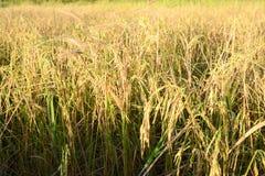 Ρύζι, ρύζι ορυζώνα Στοκ φωτογραφίες με δικαίωμα ελεύθερης χρήσης
