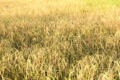 Ρύζι, ρύζι ορυζώνα Στοκ Φωτογραφία