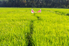 Ρύζι σε έναν τομέα στη Σρι Λάνκα Στοκ Εικόνα
