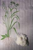 ρύζι σιταριών Στοκ εικόνα με δικαίωμα ελεύθερης χρήσης