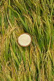 Ρύζι στην ξύλινη ΚΑΠ στον τομέα Εκλεκτής ποιότητας ρύζι στον τομέα ρυζιού Στοκ Φωτογραφίες