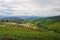 Ρύζι στην Ταϊλάνδη στοκ φωτογραφίες