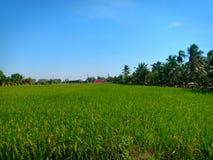 Ρύζι στον τομέα στοκ φωτογραφία με δικαίωμα ελεύθερης χρήσης