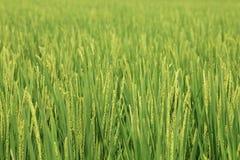 Ρύζι στον τομέα Στοκ Εικόνα