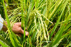 Ρύζι στον τομέα Στοκ Εικόνες