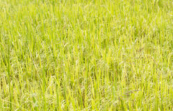 Ρύζι στο πεδίο στοκ εικόνες με δικαίωμα ελεύθερης χρήσης