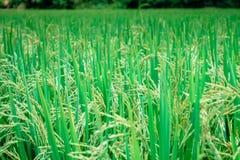Ρύζι στο πεδίο Στοκ εικόνα με δικαίωμα ελεύθερης χρήσης