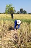 Ρύζι συγκομιδών σε αγροτικό,   Στοκ Φωτογραφίες