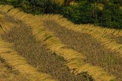 Ρύζι συγκομιδών Στοκ Εικόνες