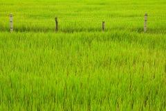 ρύζι Ταϊλάνδη πεδίων φραγών Στοκ Φωτογραφίες