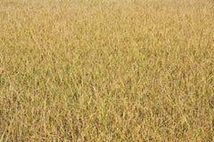 ρύζι Ταϊλάνδη πεδίων Στοκ φωτογραφίες με δικαίωμα ελεύθερης χρήσης