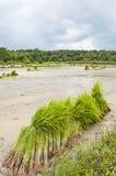 ρύζι Ταϊλάνδη πεδίων Στοκ Φωτογραφίες