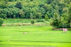 ρύζι Ταϊλάνδη πεδίων Στοκ Εικόνες