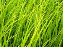 ρύζι Ταϊλάνδη 4 πεδίων Στοκ Εικόνες