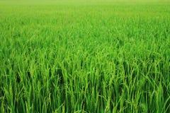 ρύζι Ταϊλανδός πεδίων Στοκ Φωτογραφίες