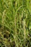 ρύζι Ταϊλάνδη πεδίων Στοκ εικόνες με δικαίωμα ελεύθερης χρήσης