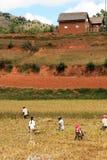ρύζι της αγροτικής Μαδαγ&alp Στοκ Φωτογραφία