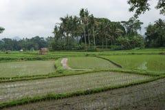 ρύζι της Ινδονησίας πεδίων Στοκ Φωτογραφία